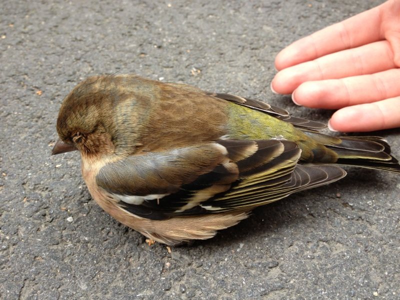 fugl skade